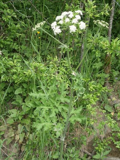 Berce for Plantes belgique